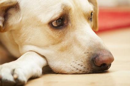 Labrador puppy enjoying clean floor from maid company